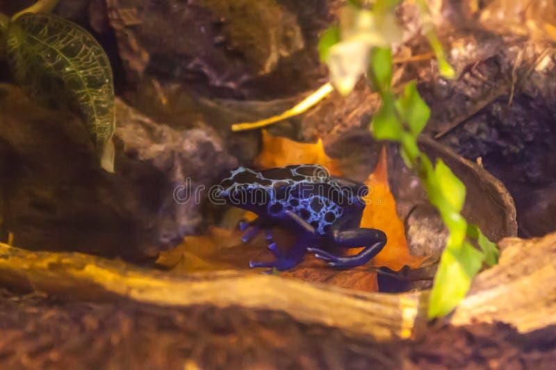 Μπλε βάτραχος δηλητήριο-βελών - azureus tinctorius Dendrobates στο terrarium στοκ εικόνες