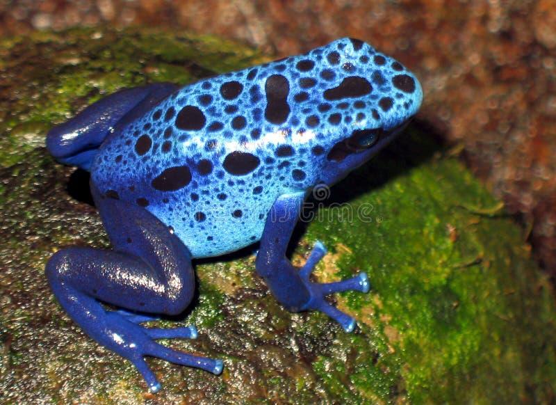 Μπλε βάτραχος στοκ φωτογραφία με δικαίωμα ελεύθερης χρήσης