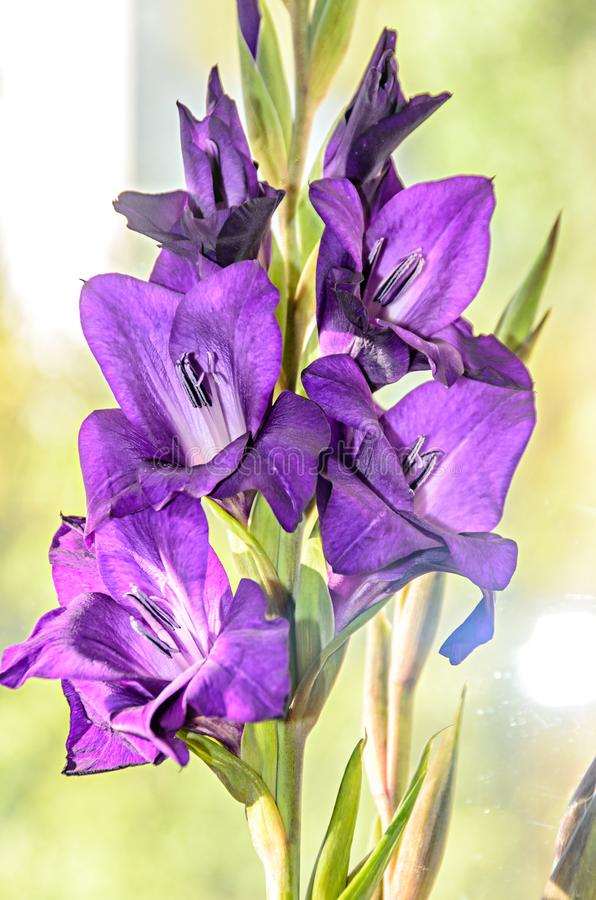 Μπλε βιολετί Gladiolus imbricatus λουλούδια, κοντά στο παράθυρο, κλείσιμο στοκ εικόνα με δικαίωμα ελεύθερης χρήσης