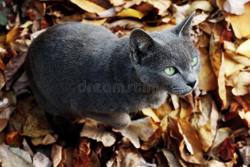μπλε γάτα ρωσικά στοκ εικόνα