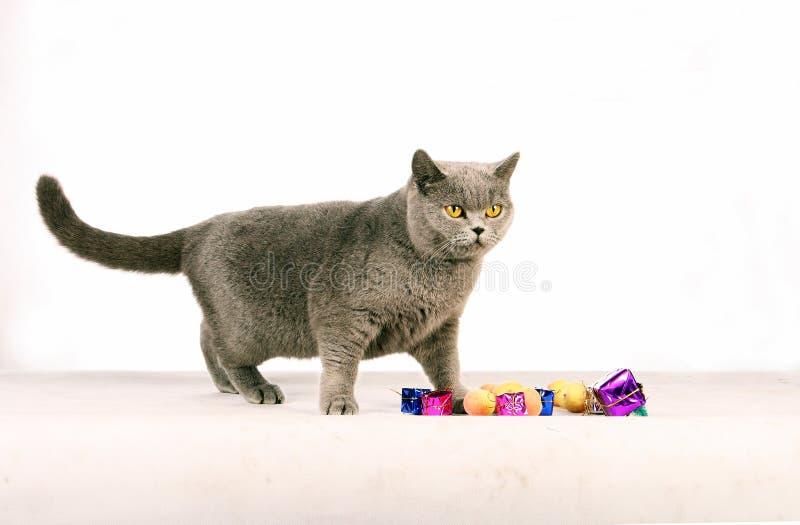 μπλε γάτα στοκ φωτογραφία