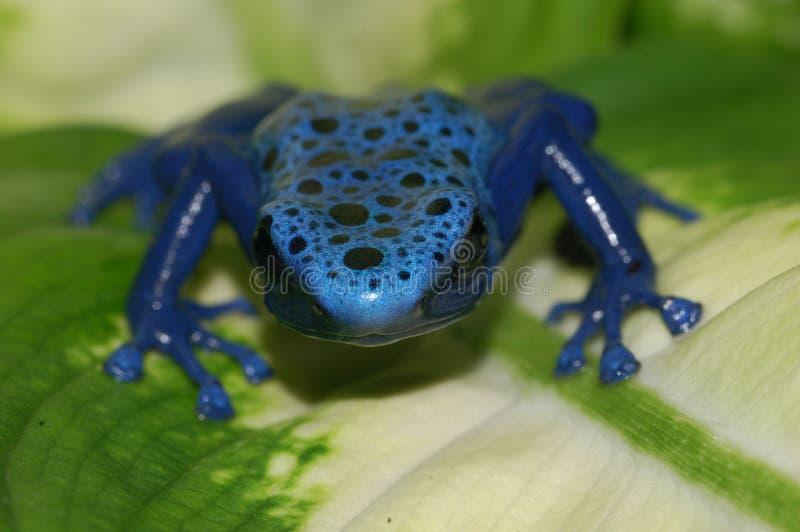 μπλε δηλητήριο φύλλων βατ στοκ εικόνες