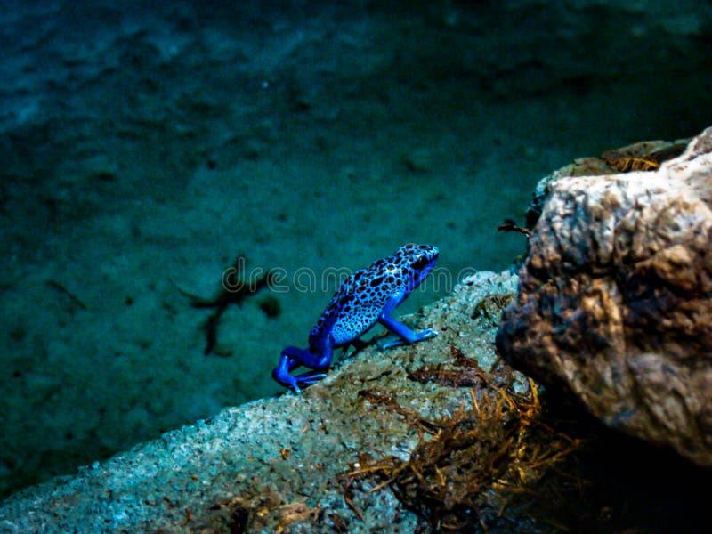 Μπλε δηλητηριώδες βέλος Froq στοκ εικόνες με δικαίωμα ελεύθερης χρήσης