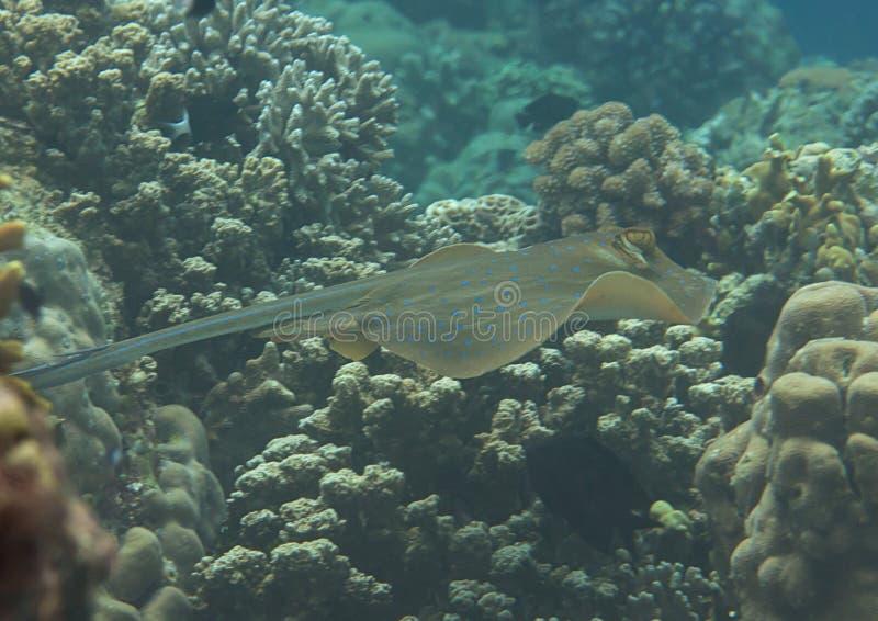 Μπλε-επισημασμένο stingray kuhlii Dasyatis που κολυμπά πέρα από την κοραλλιογενή ύφαλο του Μπαλί, Ινδονησία στοκ φωτογραφίες με δικαίωμα ελεύθερης χρήσης