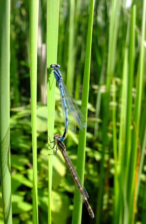Μπλε ζευγάρωμα Damselflies στοκ φωτογραφία με δικαίωμα ελεύθερης χρήσης
