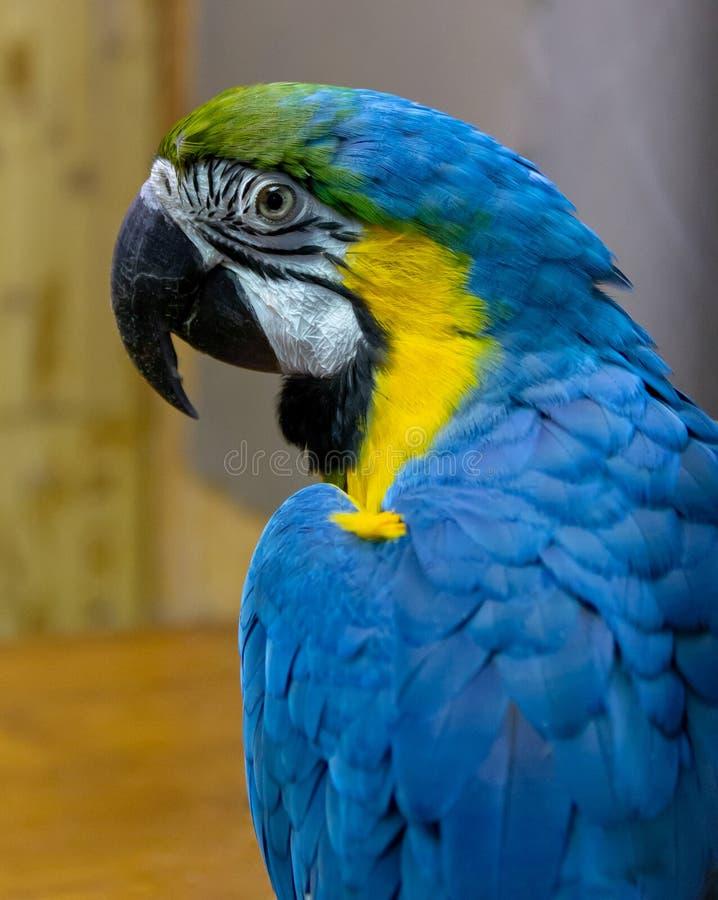 Μπλε-κίτρινο κινηματογραφήσεων σε πρώτο πλάνο παπαγάλων Macaw ένα κατοικίδιο ζώο στοκ εικόνες με δικαίωμα ελεύθερης χρήσης