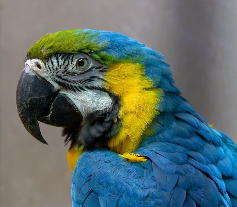Μπλε-κίτρινο κινηματογραφήσεων σε πρώτο πλάνο παπαγάλων Macaw ένα κατοικίδιο ζώο στοκ εικόνα με δικαίωμα ελεύθερης χρήσης