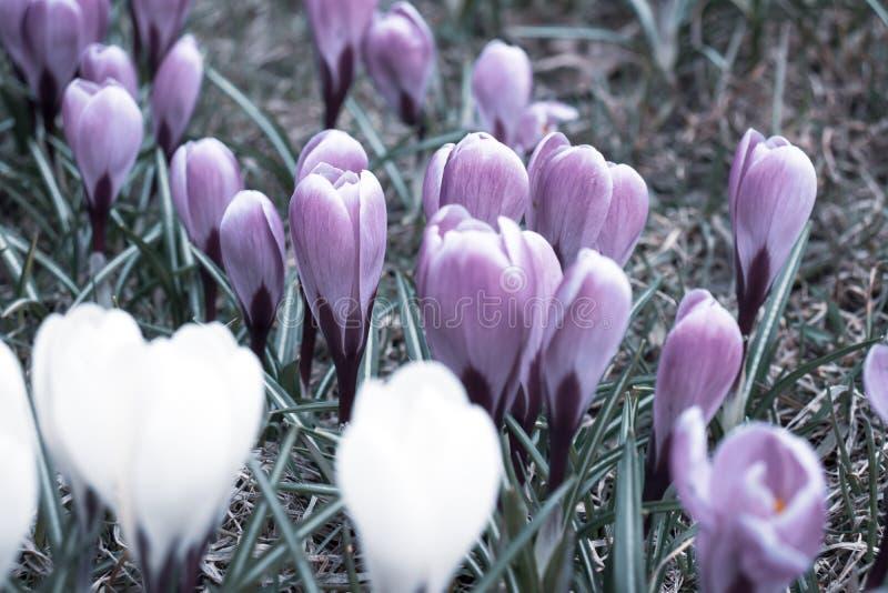 Μπλε και άσπρα μυστήρια στενά επάνω, μελαγχολικά και αινιγματικά λουλούδια κρόκων στοκ φωτογραφίες