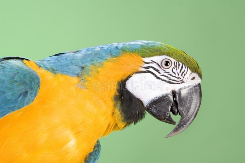 Μπλε και κίτρινο macaw στοκ εικόνες με δικαίωμα ελεύθερης χρήσης