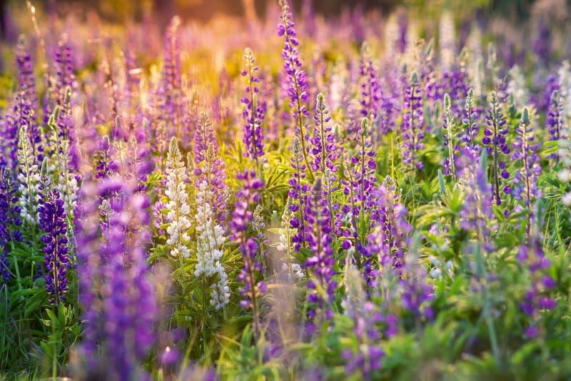 Μπλε και κόκκινα λουλούδια lupine στο ηλιοβασίλεμα r στοκ φωτογραφίες με δικαίωμα ελεύθερης χρήσης