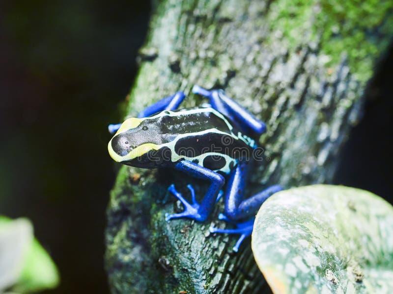 Μπλε και μαύρος βάτραχος βελών δηλητήριων στο ζωολογικό κήπο στοκ φωτογραφία με δικαίωμα ελεύθερης χρήσης