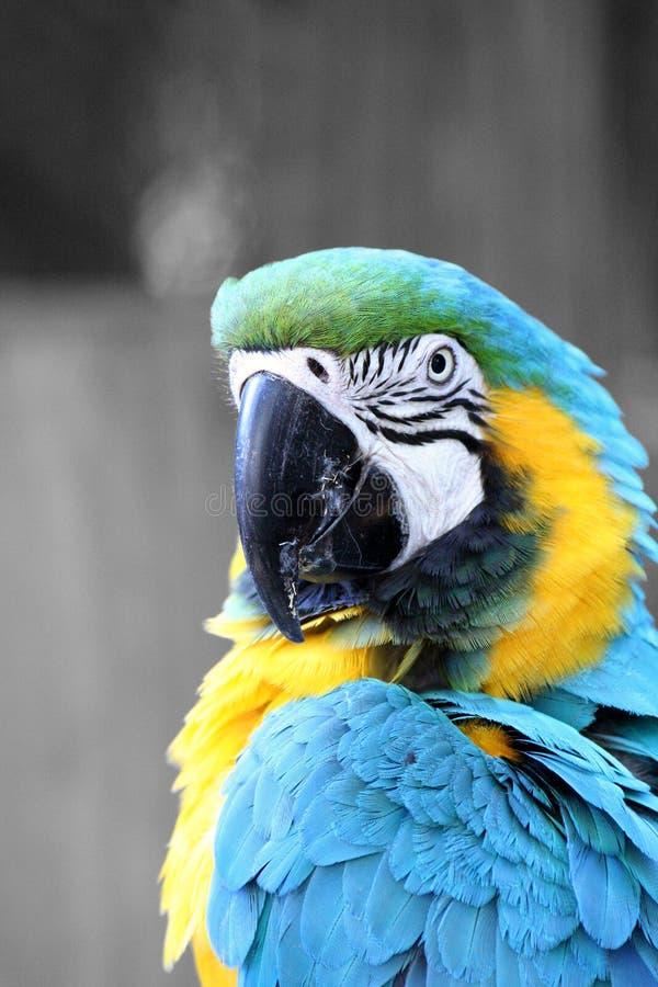 Μπλε και χρυσός macaw στοκ φωτογραφία