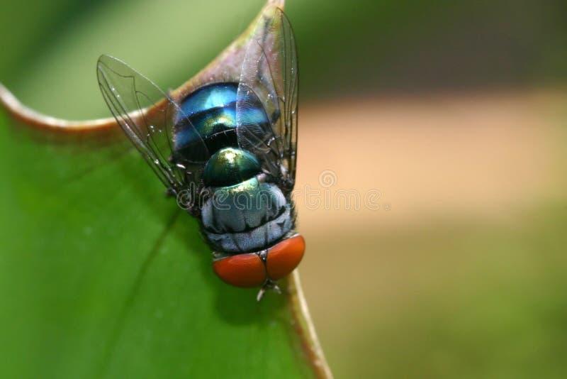 μπλε κοινή μύγα μπουκαλιώ& στοκ εικόνες με δικαίωμα ελεύθερης χρήσης