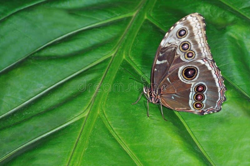 μπλε κοινό morpho πεταλούδων στοκ φωτογραφίες με δικαίωμα ελεύθερης χρήσης
