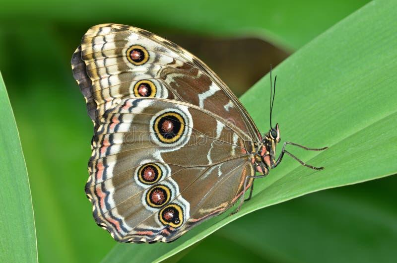 μπλε κοινό morpho πεταλούδων στοκ εικόνες με δικαίωμα ελεύθερης χρήσης