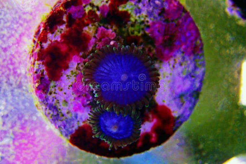 Μπλε κοράλλι αποικιών Zoanthus Smurf polyps στη δεξαμενή ενυδρείων σκοπέλων στοκ εικόνες