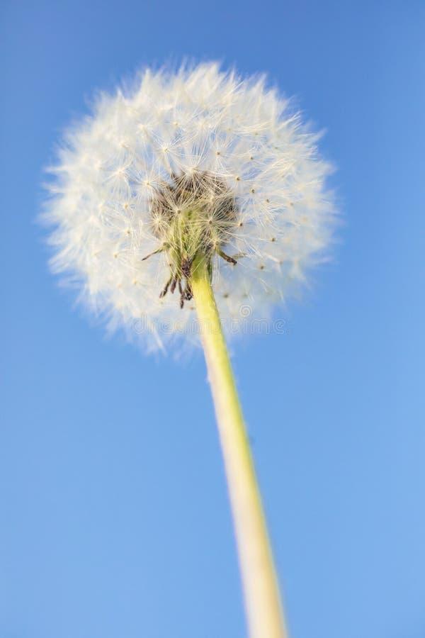 μπλε λεπτομερής πικραλίδα εικόνα λουλουδιών ανασκόπησης στοκ εικόνα