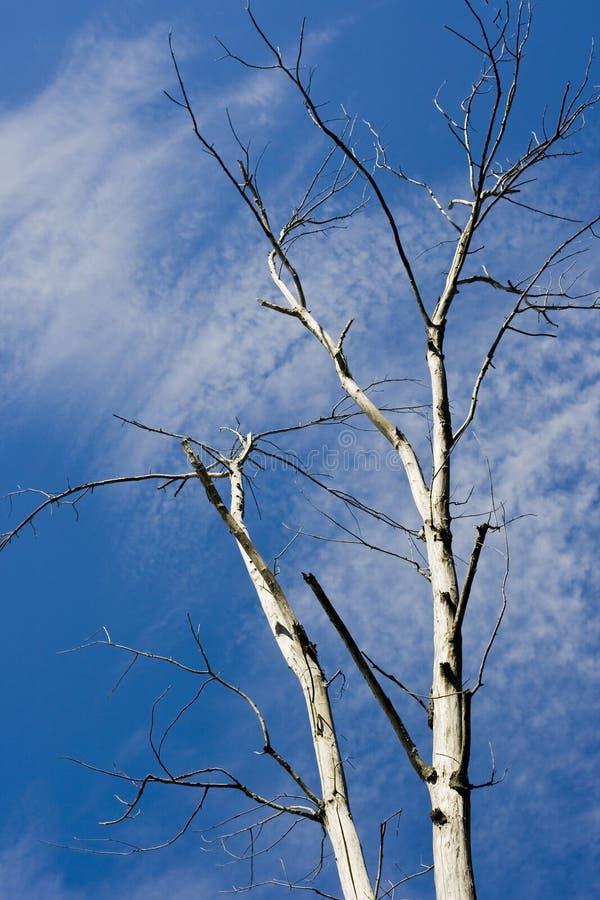 μπλε λευκό δέντρων ουραν& στοκ φωτογραφία