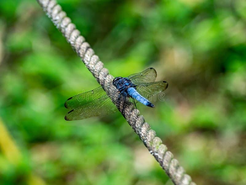 Μπλε λιβελλούλη σε έναν φράκτη σχοινιών στοκ εικόνες