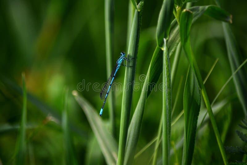 Μπλε λιβελλούλη στην πράσινη χλόη στοκ φωτογραφίες με δικαίωμα ελεύθερης χρήσης