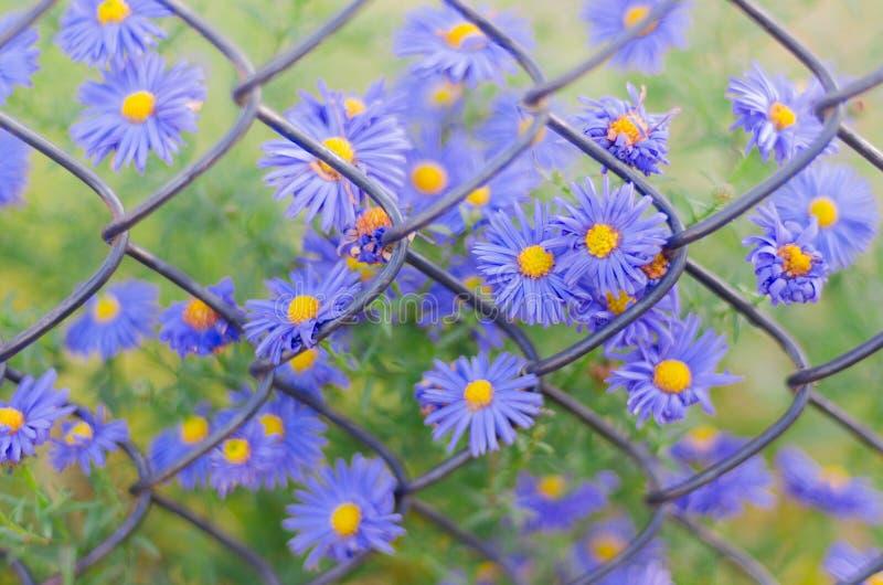 Μπλε λουλούδια κινηματογραφήσεων σε πρώτο πλάνο στο υπόβαθρο του παλαιού σκουριασμένου φράκτη πλέγματος καλωδίων στοκ εικόνες