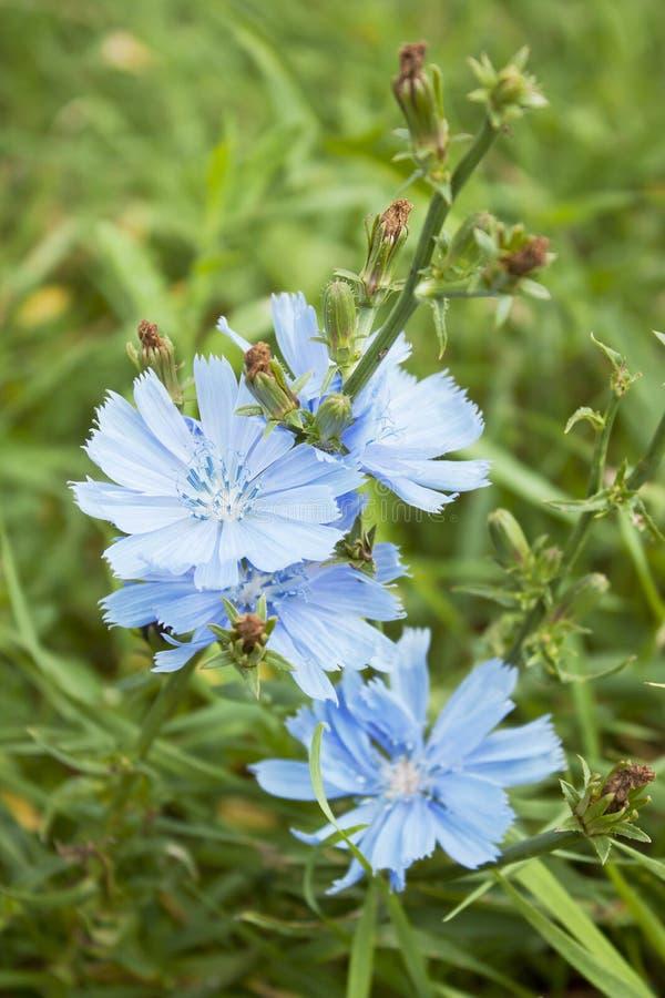 μπλε λουλούδια ραδικι& στοκ εικόνα με δικαίωμα ελεύθερης χρήσης