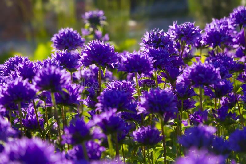 Μπλε λουλούδια στο θερινό κήπο Glomerata Campanula στοκ εικόνες