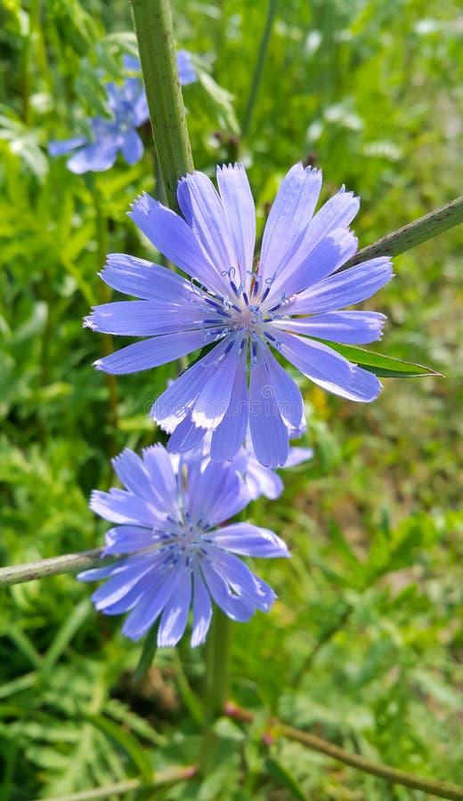 Μπλε λουλούδια του φυσικού ραδικιού στοκ φωτογραφίες με δικαίωμα ελεύθερης χρήσης