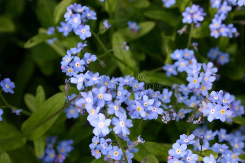 Μπλε λουλούδια forget-me-not των εγκαταστάσεων στοκ εικόνα με δικαίωμα ελεύθερης χρήσης