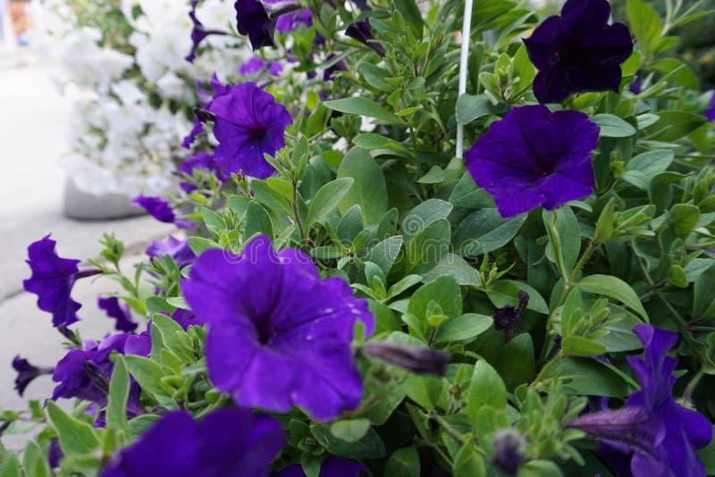 Μπλε λουλούδι επάνω στην αγορά στοκ εικόνα με δικαίωμα ελεύθερης χρήσης