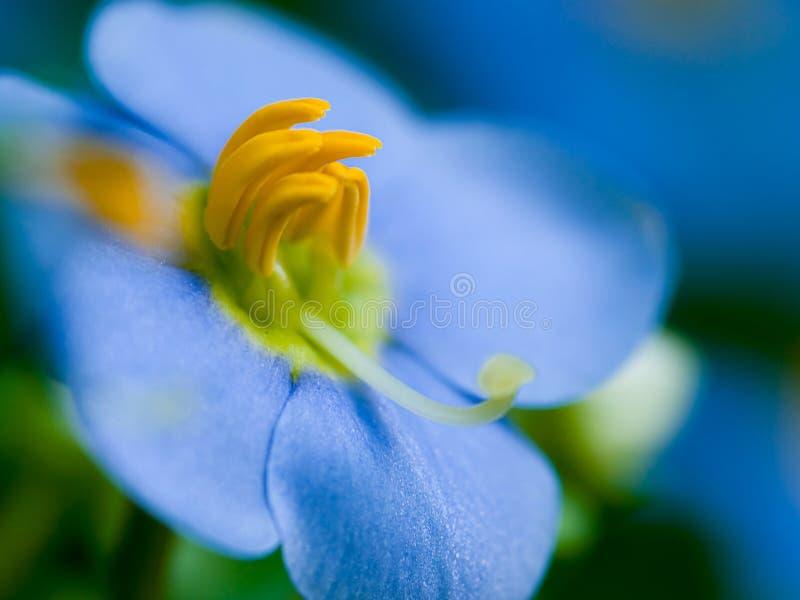 μπλε λουλούδι περσικό στοκ εικόνες