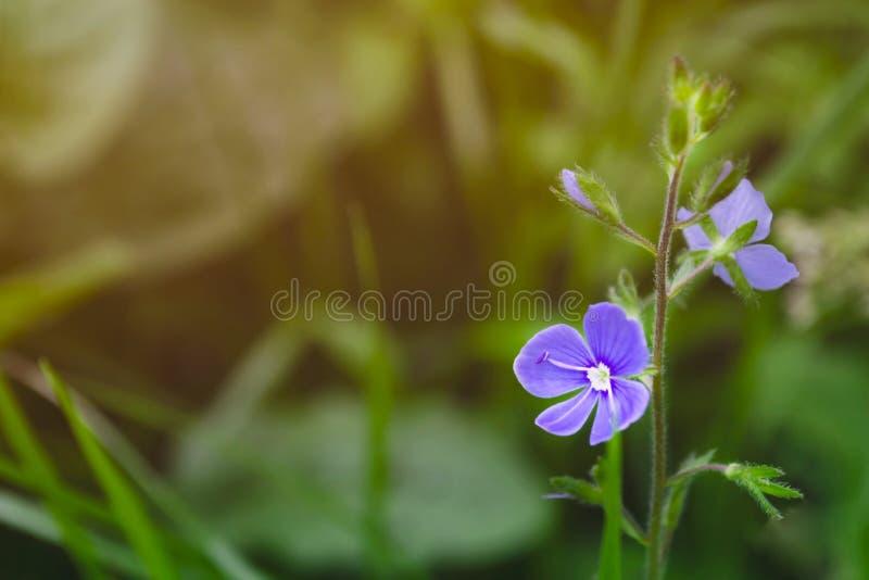 Μπλε λουλούδι στο πράσινο θολωμένο υπόβαθρο Μακρο πλάνο στοκ φωτογραφία