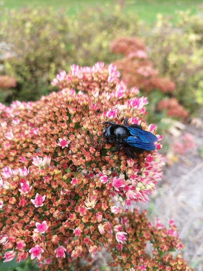 Μπλε μέλισσα ξυλουργών & x28 Xylocopa violacea& x29  σε ένα ρόδινο λουλούδι στοκ φωτογραφία