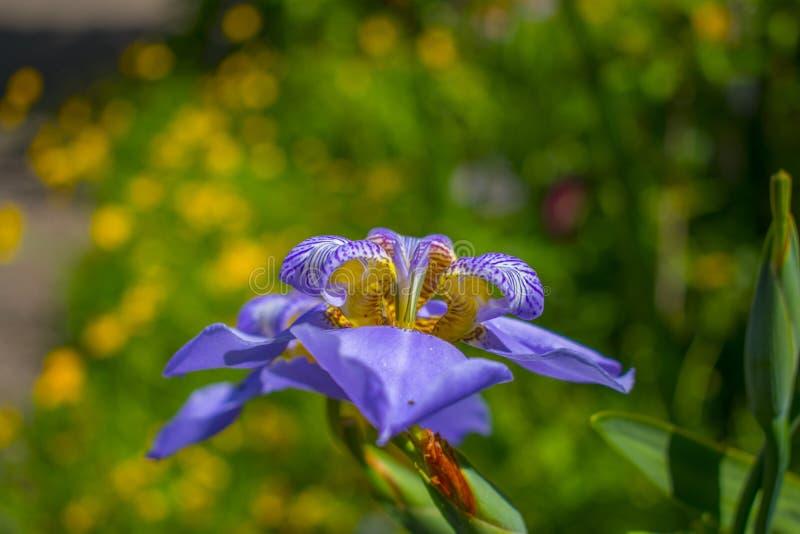 Μπλε μακροεντολή λουλουδιών σε έναν κήπο στοκ εικόνα με δικαίωμα ελεύθερης χρήσης