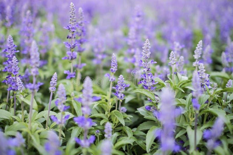 Μπλε μοβ λουλούδια στον κήπο στοκ φωτογραφίες