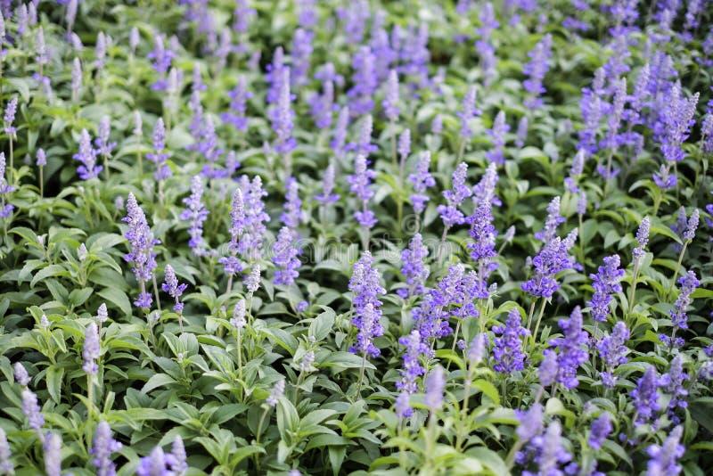 Μπλε μοβ λουλούδια στον κήπο στοκ εικόνες