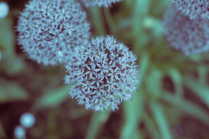 Μπλε μορφή σφαιρών πικραλίδων χρώματος στοκ εικόνες