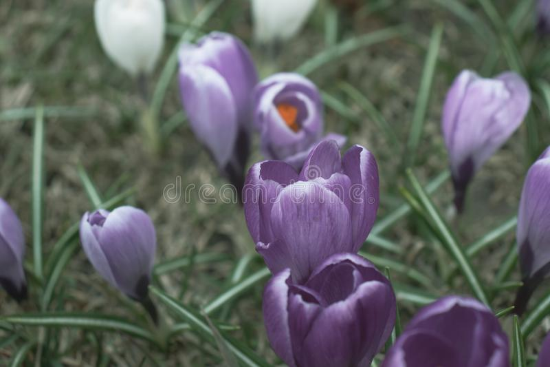 Μπλε μυστήρια στενά επάνω, μελαγχολικά και αινιγματικά λουλούδια κρόκων στοκ φωτογραφία με δικαίωμα ελεύθερης χρήσης