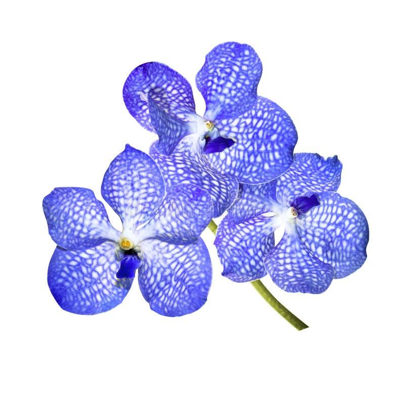 Μπλε ορχιδέα απομονωμένο σε λευκό φόντο στοκ φωτογραφίες με δικαίωμα ελεύθερης χρήσης
