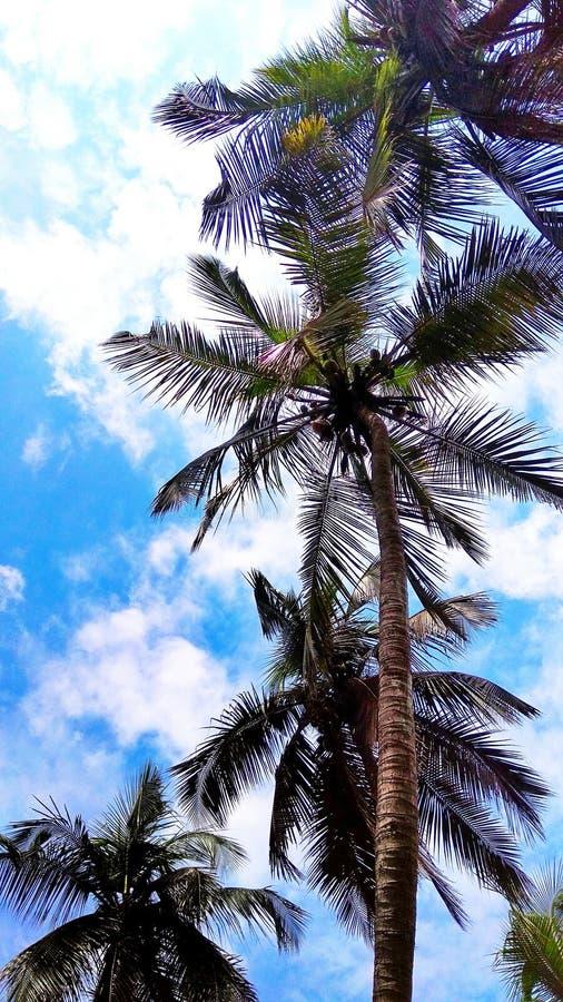 Μπλε ουρανός καρύδων δέντρων στοκ φωτογραφίες