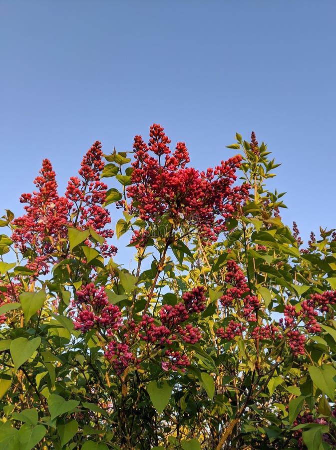Μπλε ουρανός κόκκινα λουλούδια στοκ εικόνα