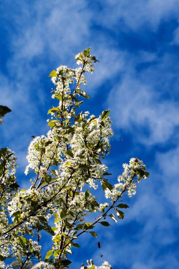 Μπλε ουρανός με τα λεπτά σύννεφα πίσω από τα χαριτωμένα άσπρα λουλούδια στοκ εικόνα με δικαίωμα ελεύθερης χρήσης