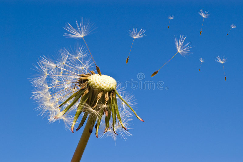 μπλε ουρανός πικραλίδων στοκ φωτογραφία