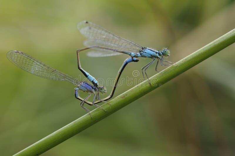 Μπλε-παρακολουθημένος damselflies, Ischnura elegans, ζευγαρώνοντας σε έναν μίσχο εγκαταστάσεων στοκ φωτογραφίες