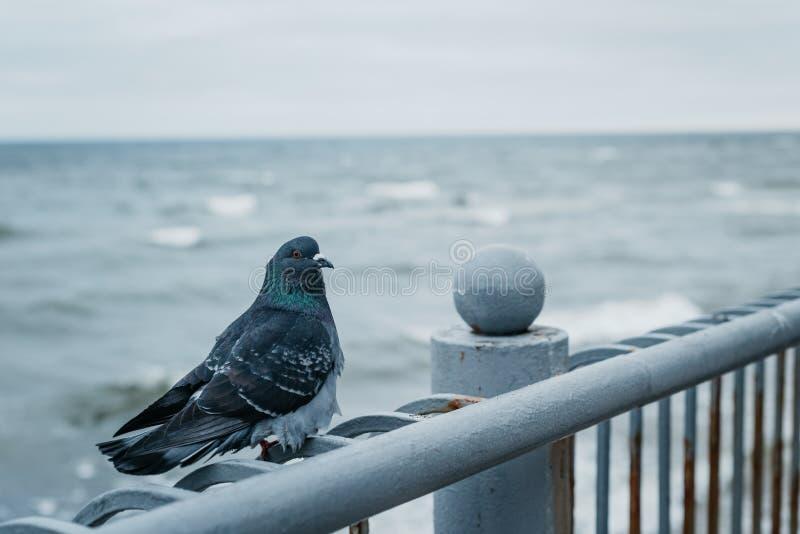 Μπλε περιστέρι κοντά στη θάλασσα της Βαλτικής στοκ φωτογραφία