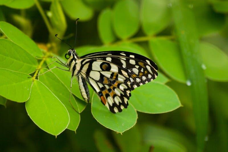 Μπλε πεταλούδα ασβέστη στα πράσινα φύλλα στο μουσώνα στην Ινδία στοκ εικόνα με δικαίωμα ελεύθερης χρήσης