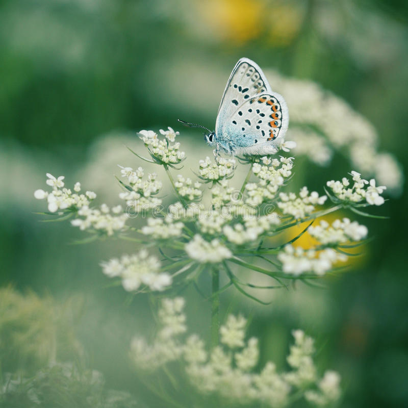 μπλε πεταλούδα κοινή στοκ φωτογραφία με δικαίωμα ελεύθερης χρήσης