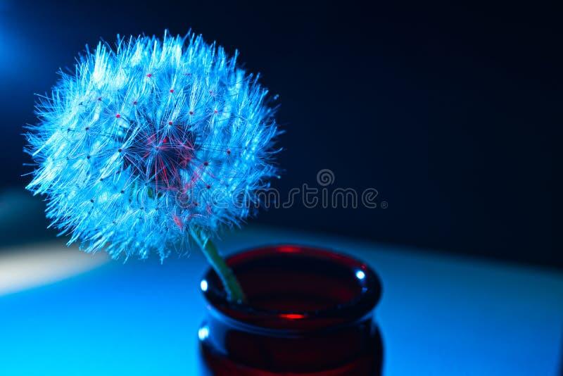 Μπλε πικραλίδα μπλε και κόκκινο στοκ φωτογραφίες