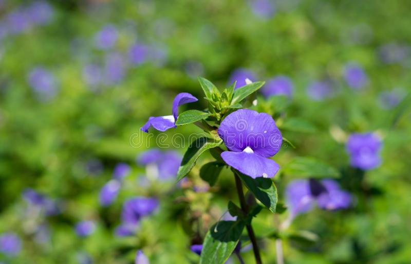 Μπλε πορφυρά λουλούδια στο πάρκο στοκ εικόνα