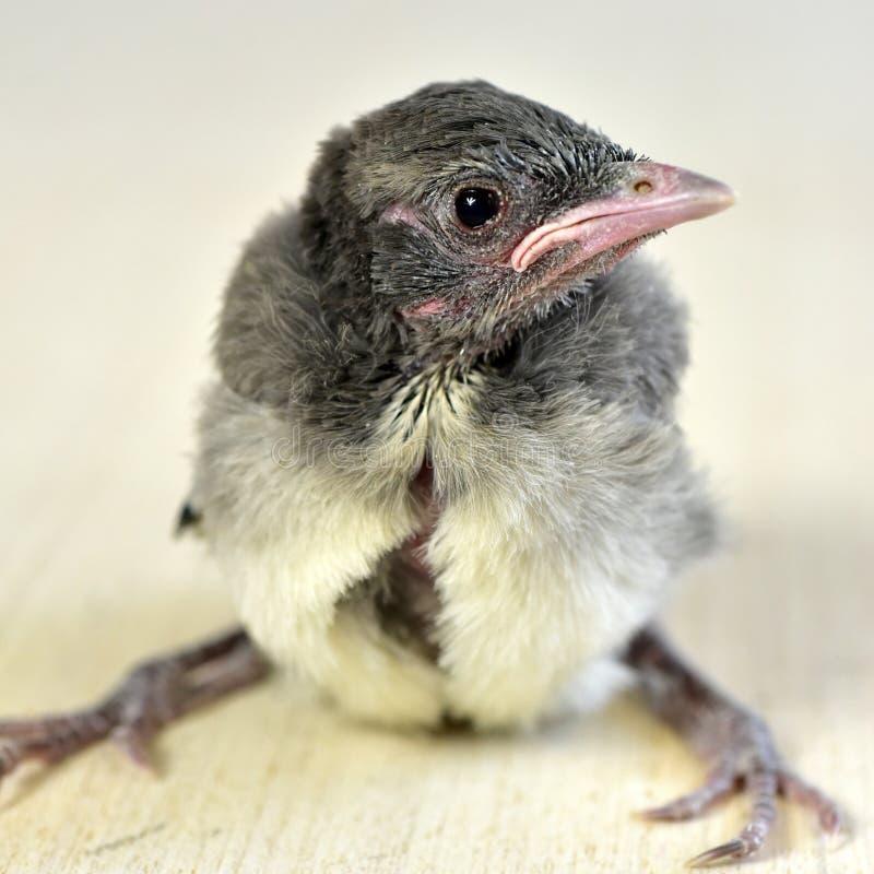 Μπλε πουλί του Jay μωρών νεοσσών στοκ φωτογραφία με δικαίωμα ελεύθερης χρήσης